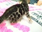 自家繁育 安全保障 超级可爱小豹猫 欢迎咨询哦