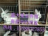 杂交野兔市场价格、比利时肉兔价格