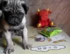 天津八哥犬 天津八哥出售 天津八哥照片 天津八哥怎么卖