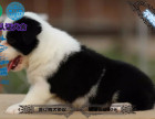 边境牧羊犬 幼犬 品种纯 七白到位,已做驱虫和疫苗