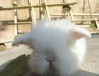 出售宠物兔子!