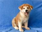 西安狗狗之家长期出售高品质 秋田 售后无忧