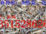 大龙虾养殖技术 专供小龙虾苗 龙虾种、包成活包回收 货到付款