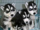 纯种 哈士奇雪橇犬 极地品质~多色选择~质量保证