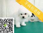 cku认证五星级犬舍出售法国精品比熊幼犬