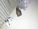 宠物兔,急需买家