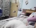 纯白色田园猫