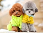 泰迪犬 常年销售 包细小犬瘟冠状 包防疫包纯种