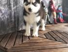 福州哪里有宠物狗卖精品三火蓝眼哈士奇雪橇犬证书齐全