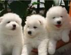 西安狗狗之家长期出售高品质 萨摩耶 售后无忧