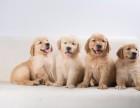 上海闵行区榛果犬业正规专业宠物基地疫苗齐全包纯种签协议可托运