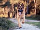 贵宾犬自家繁殖出售