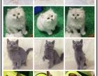 猫舍直销波斯猫布偶猫蓝猫加菲猫美短折耳猫暹罗猫英短
