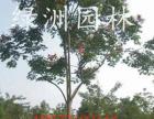 南宁移栽黄连木|丛生黄连木较新价格    改善生态环境!信