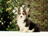 威爾士柯基幼犬出售北京專業犬舍柯基幼犬疫苗犬女