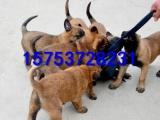 马犬多少钱,怎么驯养马犬,马犬幼犬出售,公母均有,欢迎选购