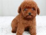 泰迪幼犬 泰迪犬疫苗怎么打 咖啡色 棕色泰迪细小 犬瘟都已做