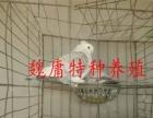 观赏鸽出售、肉鸽批发、价格优惠、欢迎选购