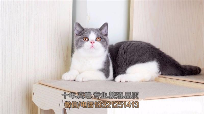 出售纯血统英国短毛猫 英短蓝白渐层 包纯种健康 价格优惠