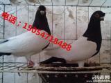 普通肉鸽种鸽价格 出售肉鸽观赏鸽 种鸽场