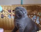 家庭式饲养英短蓝猫蓝白【上门可商】有协议包疫苗