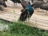 哪里有卖孔雀的 鸵鸟苗多少钱一只