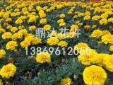 孔雀草种植基地 买孔雀草当然是到鼎达花卉苗木