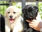 贵阳哪有拉布拉多犬卖 贵阳拉布拉多犬价格 拉布拉多犬多少钱