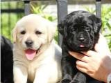 南昌最大狗场 拉布拉多犬等品种三百起 特价直销世界名犬