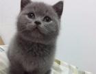 蓝猫活体 英短蓝猫 开八字蓝白英短 英国短毛猫