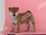 佛山哪里有纯种柴犬幼崽卖 纯种柴犬价格多少钱 广东旺驰犬舍