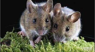 河北清波灭鼠公司 灭鼠的有效方法