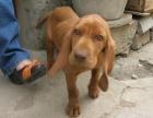 深圳那里有威玛猎犬卖 深圳威玛猎犬价格 深圳威玛猎犬多少钱