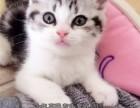 福州买猫 猫舍繁殖美国短毛猫 美短纹路清晰 疫苗驱虫已做
