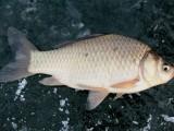 内蒙古淡水鱼鲤鱼苗批发 观赏鱼锦鲤鱼苗价格 放生鱼苗出售
