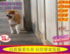 犬舍直销 秋田多只在售健康好养活