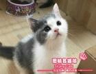 萌萌哒-英短猫蓝白双色小帅哥-思晴名猫坊