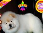 纯种松狮幼犬出售 犬舍直销包纯种保健康 售后签协议