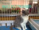 英短纯白 宠物猫专业繁殖批发零售