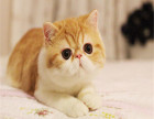 CFA猫舍专业繁殖精品加菲猫多只在售 签协议包健康