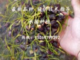 微山湖优质荷花种子批发 碗莲种子 莲花种子
