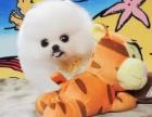 **纯血统哈多利版小博美幼犬超小型可爱活泼博美宝宝