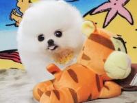 **純血統哈多利版小博美幼犬超小型可愛活潑博美寶寶