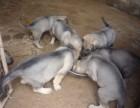 包品质品相的狼青犬在云南哪里可以买到,纯种昆明狼青价格?