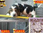纯种的巴吉度猎犬多少钱 巴吉度成年多大 巴吉度大耳朵