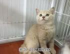 上海蓝猫哪里有卖 上海猫舍出售蓝猫幼崽 上海纯种蓝猫多少钱