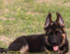 精品德国牧羊犬 送全套用品 价格可优惠 可视频