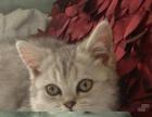 英国短毛猫咪求领养,欢迎来咨询