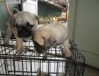 北京本地犬舍直销纯种,巴哥犬,质保三个月