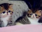 哈尔滨 哪里有卖纯种健康波斯猫 多少钱